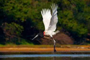 Flying white bird in tropic forest. Jabiru stork flight. Jabiru, Jabiru mycteria, black and white bird in the green water with flowers, open wings, wild animal in the nature habitat, Pantanal, Brazil.