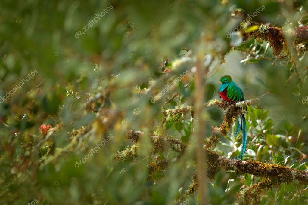 Green bird Quetzal, Pharomachrus mocinno, magnificent sacred green bird from Costa Rica. Rare magic animal in mountain tropic forest. Birdwatching in America.Exotic bird with long tail, habitat