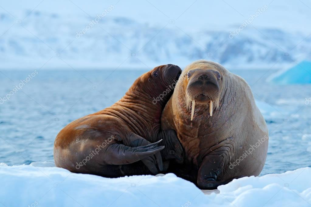 Mother with cub. Young walrus with female. Winter Arctic landscape with big animal. Family on cold ice. Walrus, Odobenus rosmarus, stick out from blue water on white ice with snow, Svalbard, Norway.