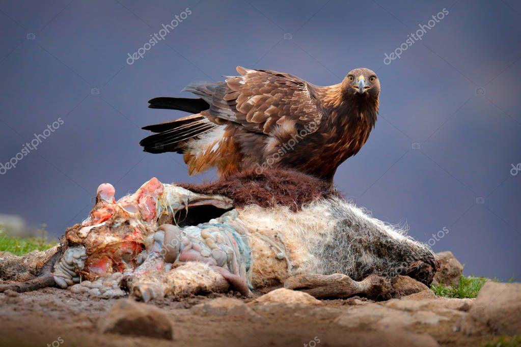 Eagle and cow calf carcass. Animnal behaviour. Bird feeding behaviour in rocky mountain. Hunter with catch. Golden eagle in grey stone habitat. Fox carcass. Golden Eagle, Bulgaria, feeding.
