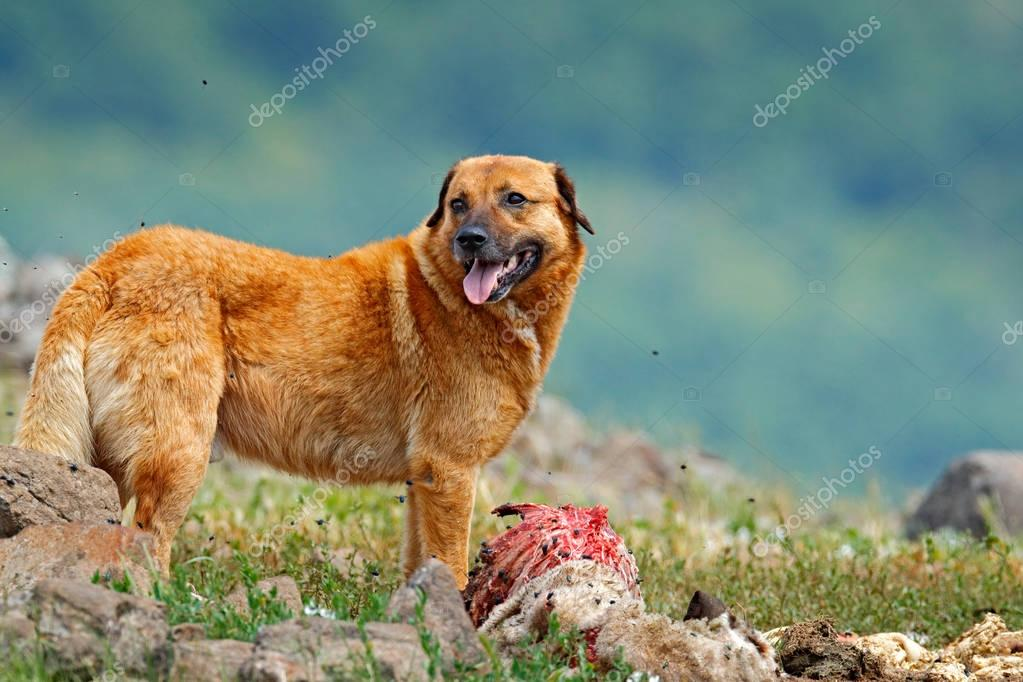Kangal Dog, originated in Balkan as a mountain livestock guardian dog. Big dog with carcass of sheep, bloody skeleton with fur.  Rock mountain, nature habitat, Madzarovo, Bulgaria, Rhodopes.