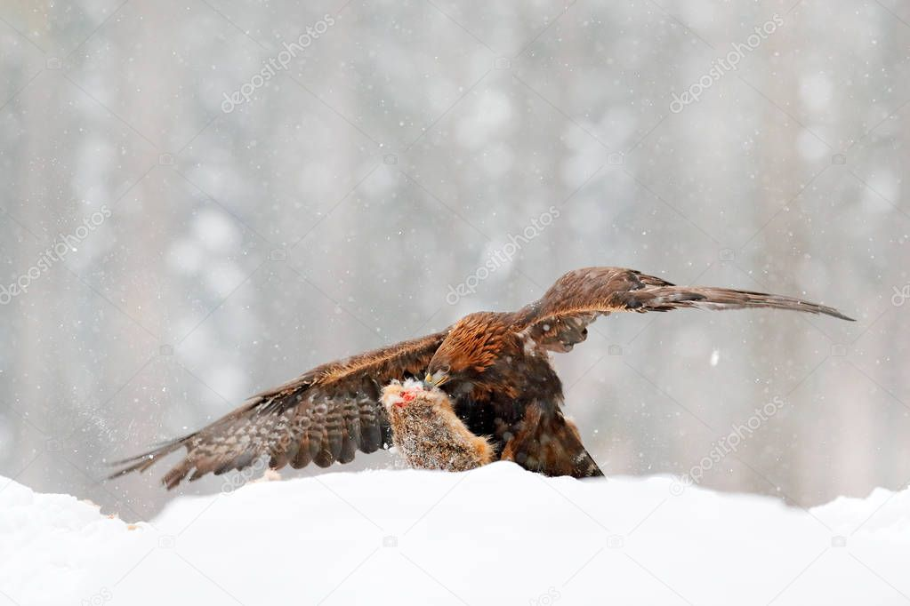 Wildlife in winter. Wild scene with bird from winter nature. Golden Eagle with catch hare in snowy winter. Bird catch hare. Animal behaviour. Snowy forest.