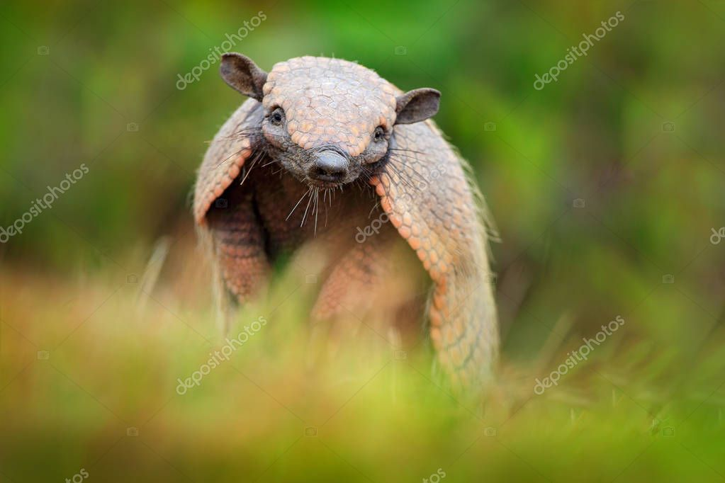 Brazil cute animal. Six-Banded Armadillo, Yellow Armadillo, Euphractus sexcinctus, Pantanal, Brazil. Wildlife scene from nature. Funny portrait of Armadillo, face portrait, hidden in grass. Wildlife.