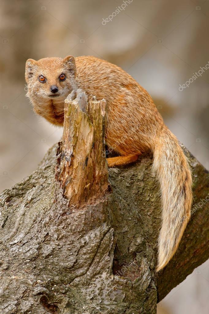 Yellow Mongoose, Cynictis penicillata, sitting on the tree trunk. Wild Africa.