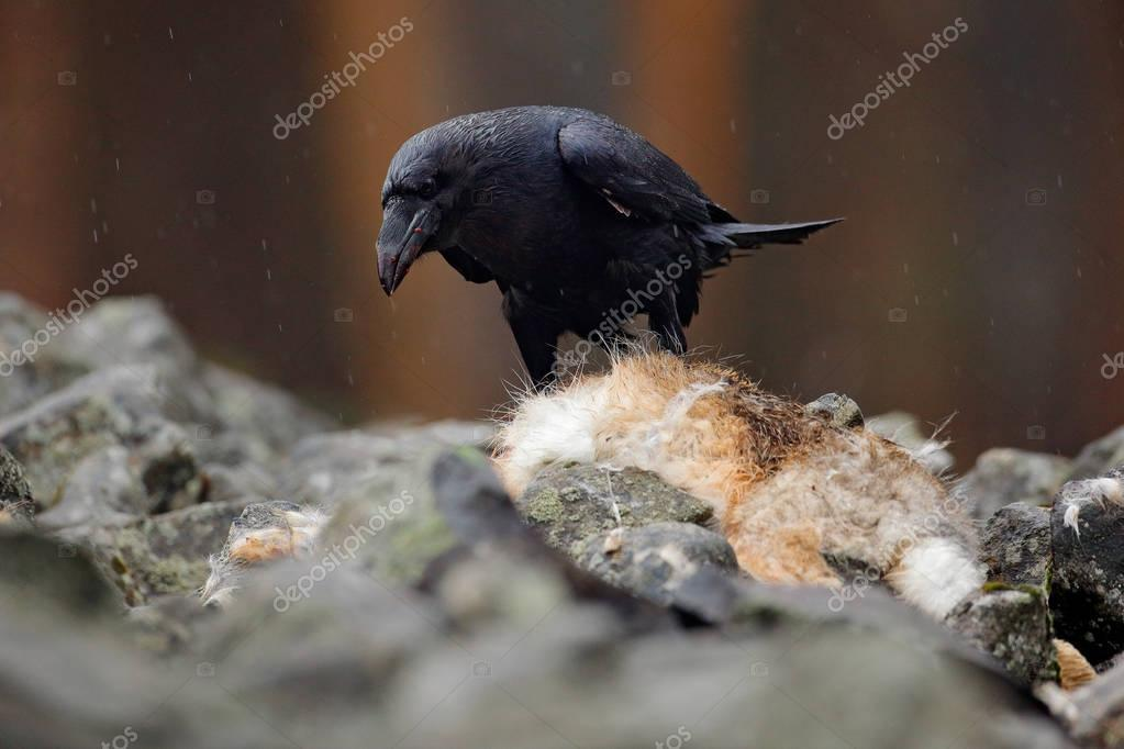 Black bird raven with dead red fox, sitting on the stone. Wildlife behaviour scene from nature. Raven feeding red fox fur coat. Bird eating mammal, Germany. Raven with catch. Mountain bird, carcass.