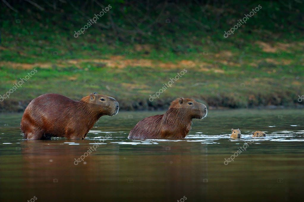 Capybara, family with two young, biggest mouse in water with evening light during sunset, Pantanal, Brazil. Wildlife scene from nature. Wildlife Brazil. Mammal, open muzzle with white tooth. Wild.