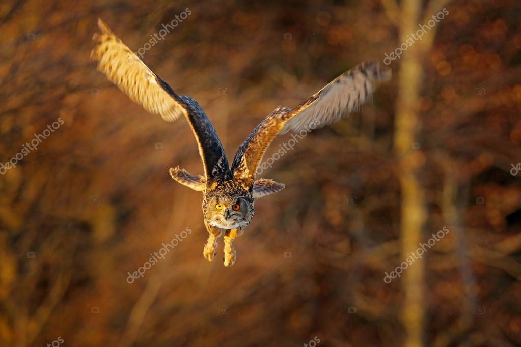 Owl fly, forest. Flying Eurasian Eagle Owl, Bubo bubo, with open wings in forest habitat, orange autumn trees. Wildlife scene from nature forest, Russia. Animal in fall wood.