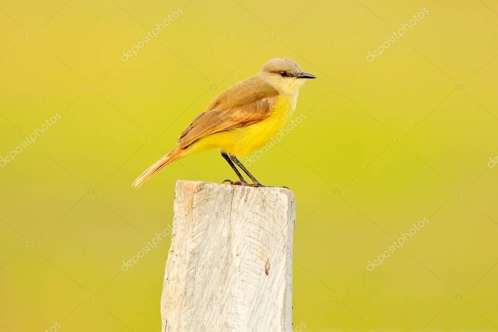 White-throated Kingbird, Tyrannus albogularis, in the nature habitat, bird sitting in the grass, white and yellow grey bird, Mato Grosso, Pantanal, Brazil. White grey bird, evening light.