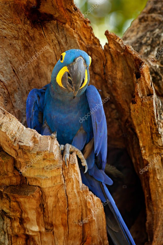 Hyacinth Macaw, Anodorhynchus hyacinthinus, blue parrot. Portrait big blue parrot, Pantanal, Brazil, South America. Beautiful rare bird in the nature habitat. Wildlife Brazil, macaw in wild nature.