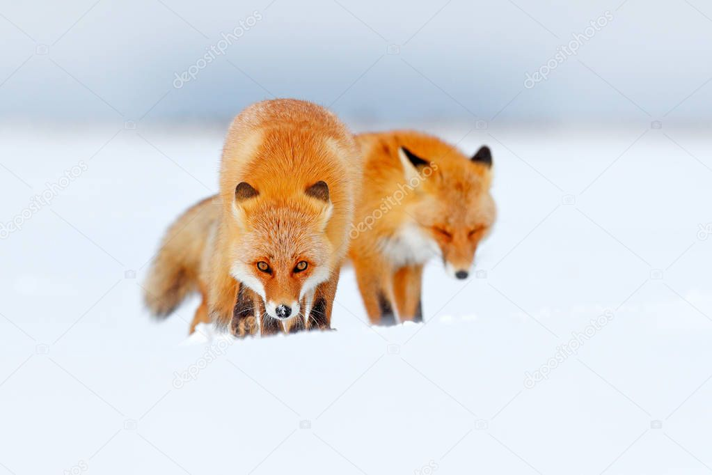 Red fox in white snow. Cold winter with orange fur fox. Hunting animal in the snowy meadow, Japan. Beautiful orange coat animal nature. Wildlife Europe. Detail close-up portrait of nice fox.