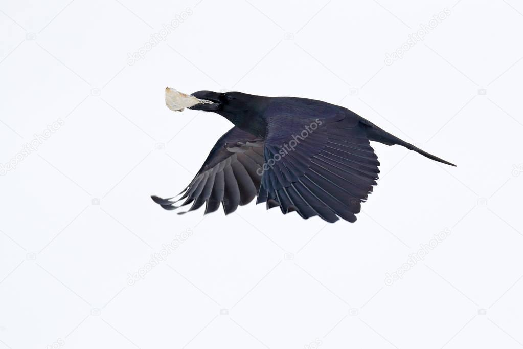 Raven, with blood catch in bill during winter, nature habitat, Sweden. First snow with bird. Winter with big white black raven. Wildlife scene from snowy. Raven fly. Black bird in white snow.