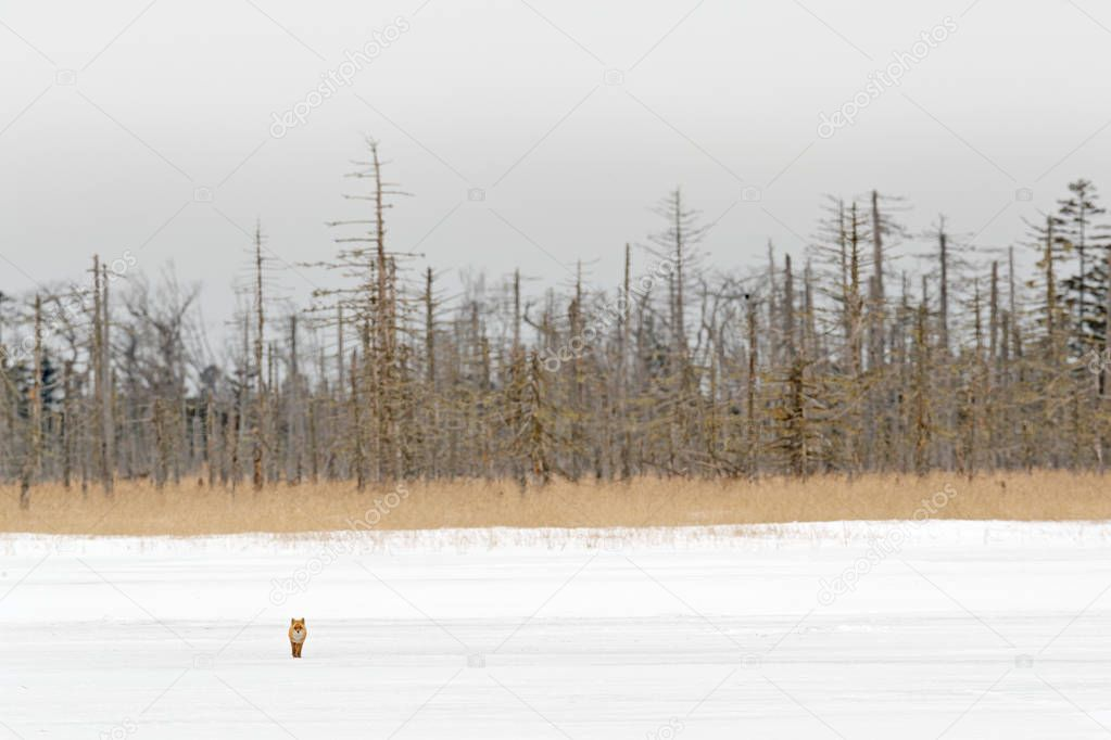 Hidden Red Fox, Vulpes vulpes, at snow winter. Wildlife scene from nature. Cold winter with beautiful fox. Orange fur coat animal, forest in background. Winter meadow with red fox, cold Japan habitat.
