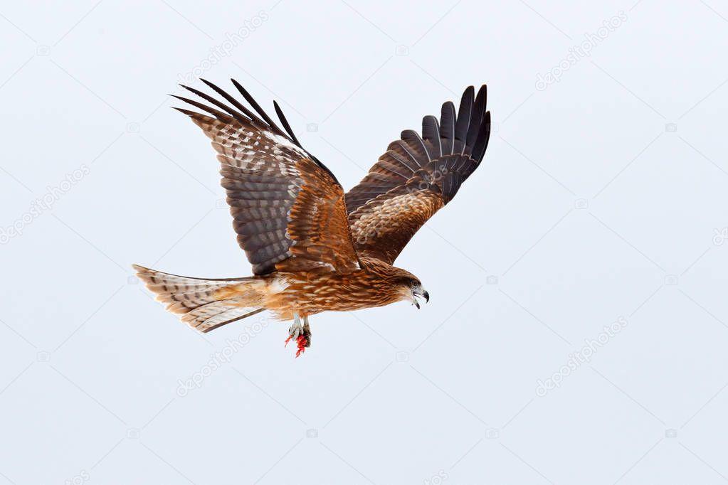 Black kite fly, Milvus migrans, sky during snow winter.  Snowy day. Bird on the meadow. Japan Wildlife.
