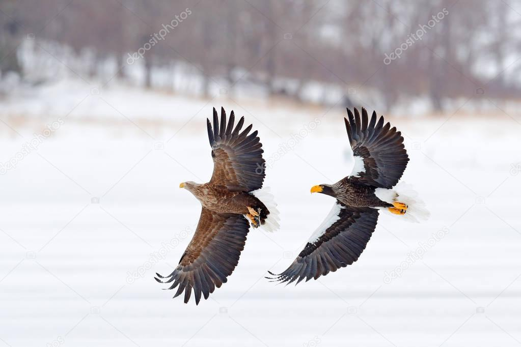 Eagle fight. Eagle fight with fish. Winter scene, birds of prey. Big eagles, snow sea. Flight White-tailed eagle, Hokkaido, Japan, Asia. Action wildlife scene on sky. Eagle in fly.  Three eagles.