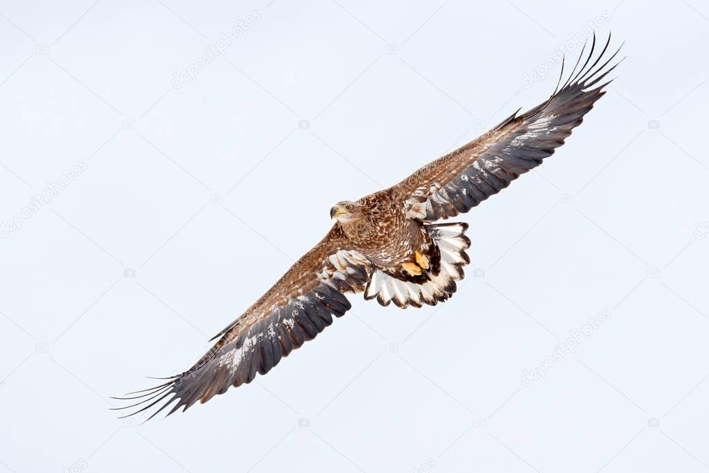Bird on sky Flight White-tailed eagle, Haliaeetus albicilla, Hokkaido, Japan. Action wildlife scene with ice. Eagle in fly. Eagle fight with fish. Winter scene with bird of prey. Big eagles, snow sea.