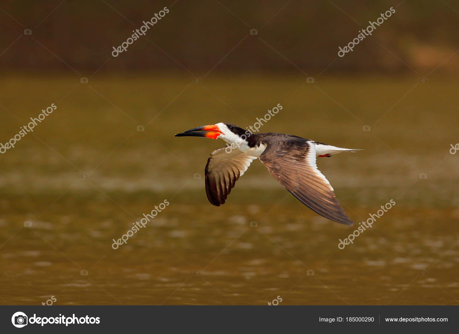 Black Skimmer Fly River Sand Beach Rio Negro Pantanal Brazil