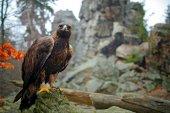Fotografia Aquila che si siede sulla roccia muscosa