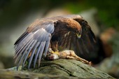 Photo Golden Eagle feeding on rock