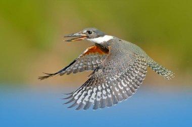Ringed Kingfisher in nature habitat