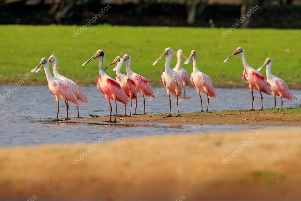 Spoonbill birds in river