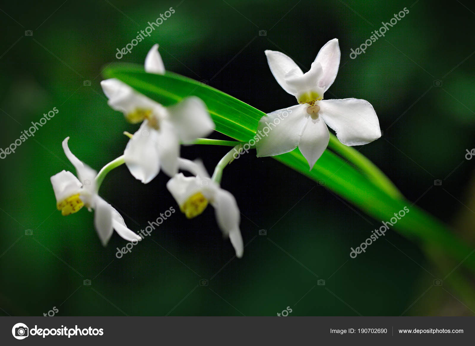 Wild White Tropic Orchid Flowers Stock Photo Ondrejprosicky