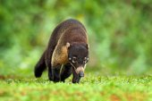 Fotografie Raccoon with long tail