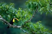 Fotografia Toucan che si siede sul ramo