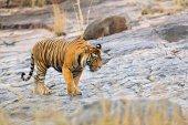 Tigre indiana in habitat naturale
