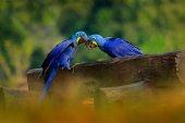 dva hyacintový ara papoušci