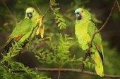 Fotografie Two Parrots in tropic nature habitat
