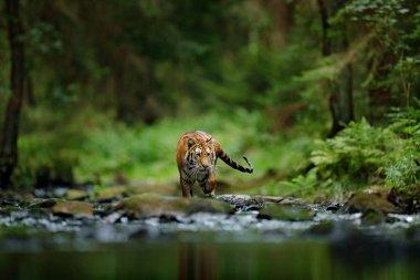 Amur tiger walking in river