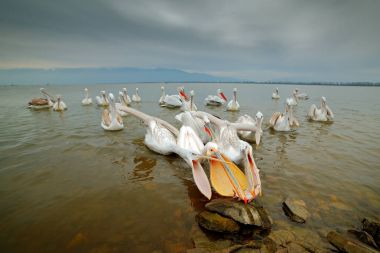 Dalmatian pelicans with fish