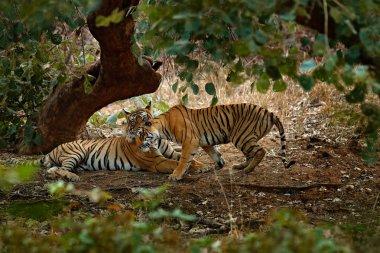 Tigers lying under green tree