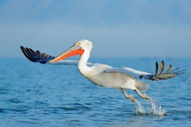 Dalmatian pelican in Lake Kerkini