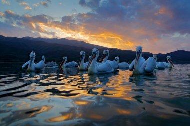 Dalmatian pelicans in Lake Kerkini