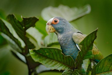 White-capped Parrot in Costa Rica