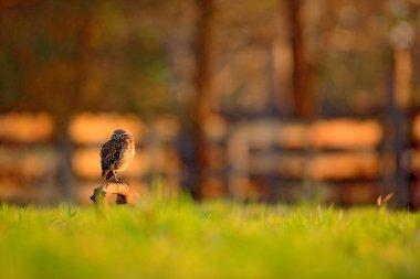 Burrowing Owl in nature habitat