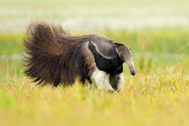 Anteater, cute animal from Brazil