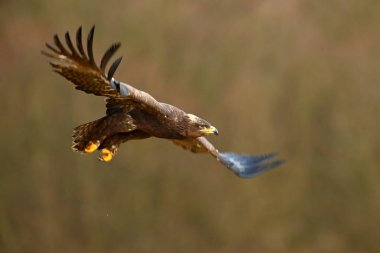 Action fly scene with eagle