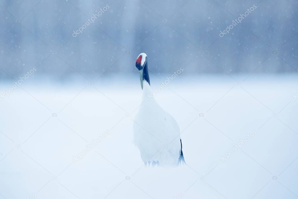 Snowfall Red-crowned crane in snow meadow, with snow storm, Hokkaido, Japan. Bird in fly, winter scene with snowflakes. Snow dance in nature. Wildlife scene from snowy nature. Cold winter.