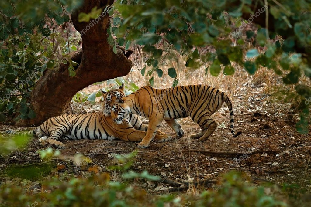 Tigers lying under green tree