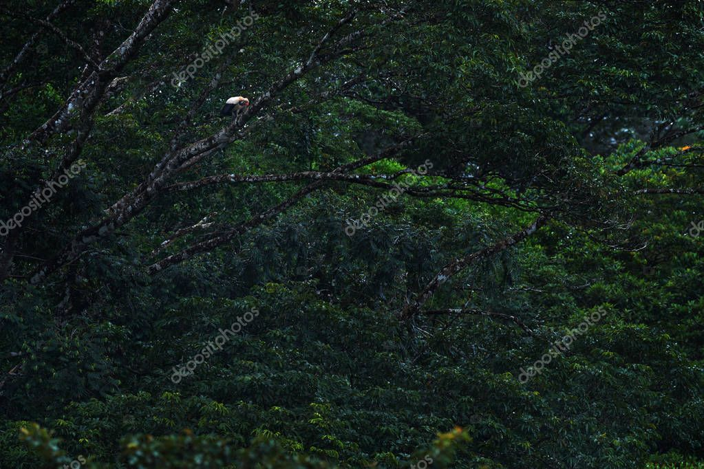 King vulture in dark green forest