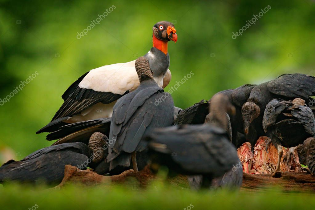 Condors in tropic forest and dead cow