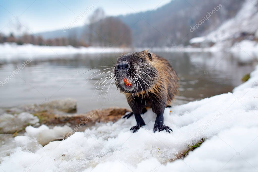 Nutria with snow during winter