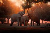 Slon krmí větvičku stromu. Slon v Mana Pools Np, Zimbabwe v Africe. Velké zvíře ve starém lese. večerní světlo, západ slunce. Kouzelná divoká příroda v přírodě.
