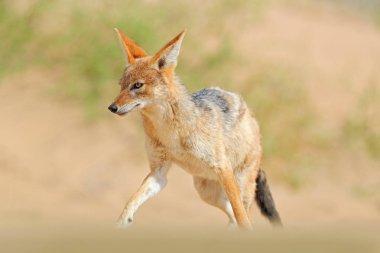 Jackal running on the sand dune in the Namib desert. Hot day in sand, animal from Namibia, Africa, black-backed jackal behaviour. Wildlife scene from nature. stock vector