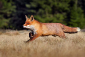 Photo Red Fox, Vulpes vulpes, beautiful animal on grassy meadow, in the nature habitat, evening sun with nice light, Germany.