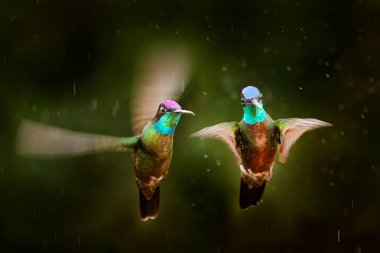 Magnificent Hummingbird, Eugenes fulgens, Tapanti MP, Costa Rica. Wildlife scene from tropic nature, bird feeding behaviour in the mountain forest. Bird in rainny tropic nature.