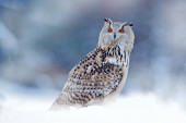 Photo Owl from Siberia, Russia. Bird with snow, col winter.