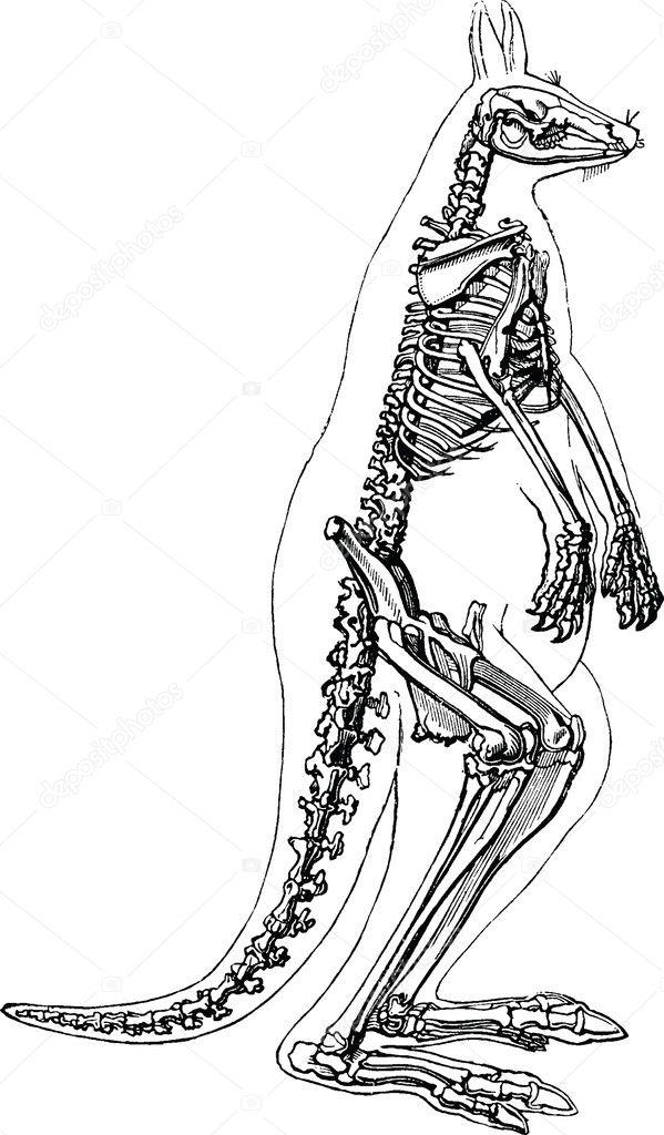 Vintage Image Kangaroo Skeleton Stock Photo Unorobusail